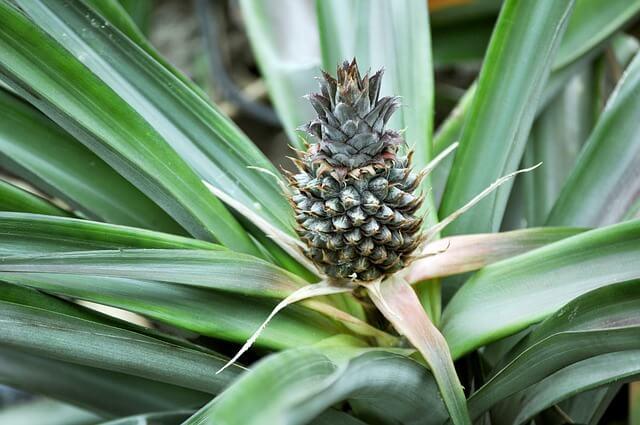 anti-snurk-plant-ananas