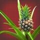 anti-snurk-plant-thumbnail